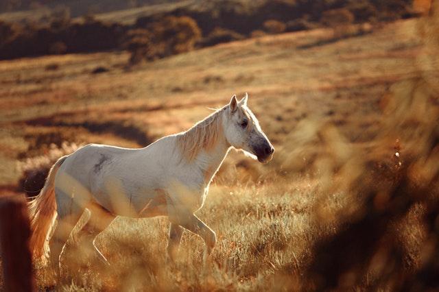 Om hästar